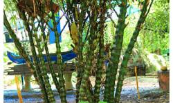 Budha Bamboo