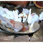 food sharing between rabbits and pigeon