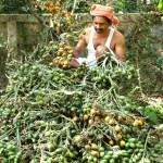 Arecanut Harvesting